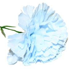 Baby Blue Carnation Sample
