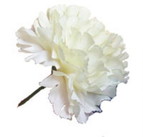 Cream Carnation Sample