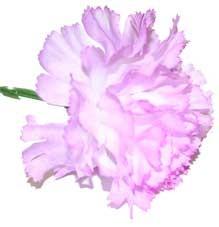 Lavender Carnation Sample