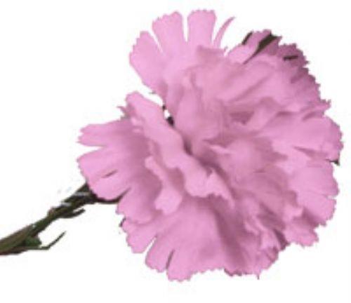 Pink Carnation Sample