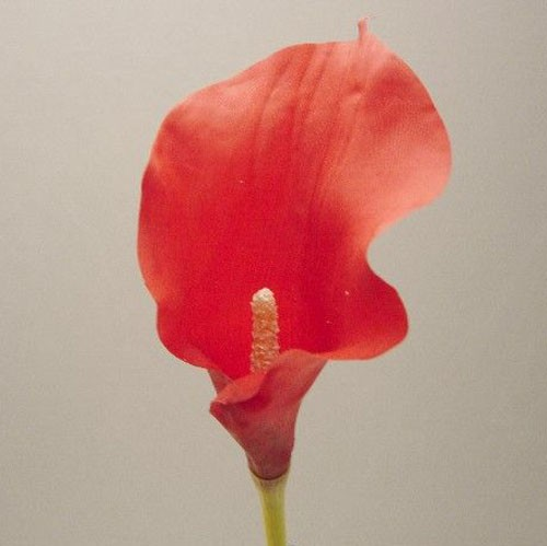 Red Cala Lily Sample