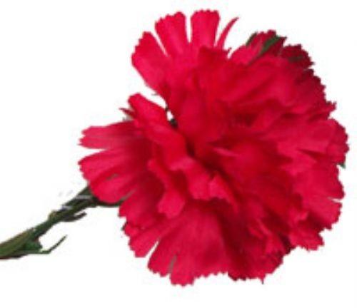 Red Carnation Sample