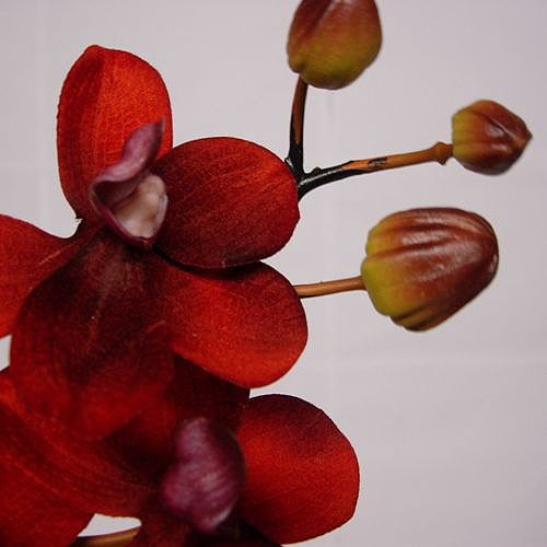Stem of Terracotta Red Orchids