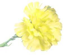 Yellow Carnation Sample