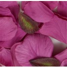 Fuchsia Silk Rose Petals