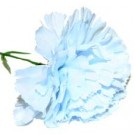 10 Baby Blue Carnations