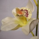 Stem of Cream Cymbidium Orchids