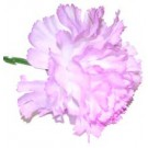 10 Lavender Carnations