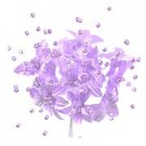 Babies Breath - 12 Stems - Lilac
