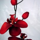 Stem of Red Orchids