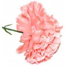 10 Peach Carnations